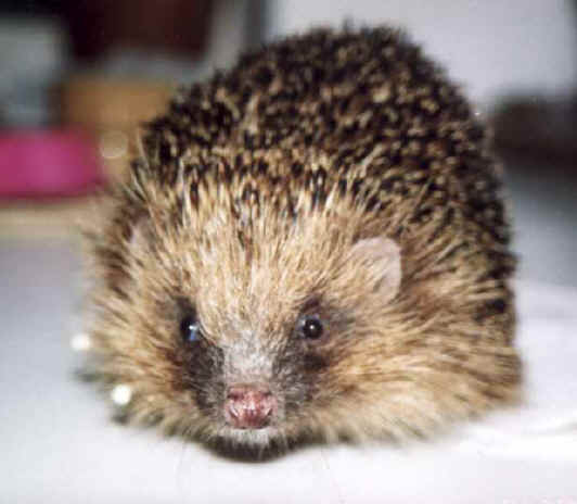 Oh look! a hedgehog! This is Clarence.